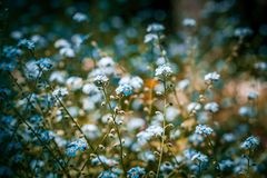 Beautiful forget me not flowers field. Beautiful forget me not flowers field Royalty Free Stock Photo