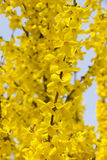 Beautiful Forsythia Royalty Free Stock Photography