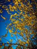 Beautiful  forsythia stand against clear blue sky. Beautiful Blooming forsythia stand against clear blue sky Royalty Free Stock Images