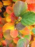 Beautiful Fothergilla in Autumn stock images