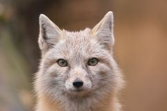 Beautiful fox Royalty Free Stock Image