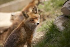 Beautiful fox Royalty Free Stock Images