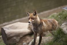 Beautiful fox Stock Images