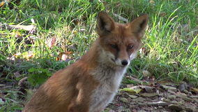 Beautiful fox in the forest stock video