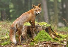 Beautiful fox Stock Photography