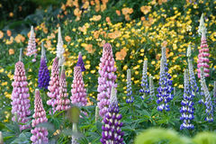 Beautiful Foxglove Meadow Stock Images
