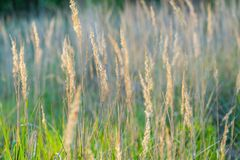 Beautiful foxtail grass blooming Royalty Free Stock Photography