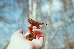 Beautiful fragile butterfly sitting on the palm of your hand and royalty free stock photo