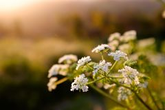 Beautiful yet fragile white flowers blossoming under warm sunlight royalty free stock image