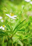 Beautiful fragile white forest flower and green vivid grass Royalty Free Stock Photo