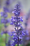 Beautiful fragrant deep purple blooms of Russian sage Stock Photo