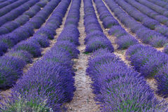 Beautiful fragrant lavender fields Royalty Free Stock Photo