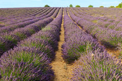 Beautiful fragrant lavender fields of Provence sunset Royalty Free Stock Image