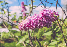 Beautiful fragrant lilac Stock Images