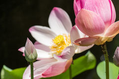 Beautiful fragrant pink water lily Royalty Free Stock Images
