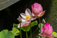 Beautiful fragrant pink water lily Stock Image