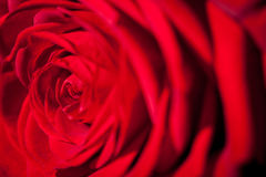 Beautiful fragrant red rose for Love Stock Photography