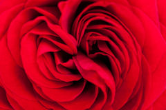 Beautiful fragrant red rose for Love Stock Photo