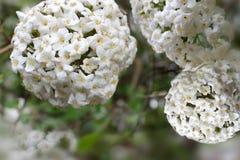 Beautiful Fragrant Snowballs Royalty Free Stock Photography