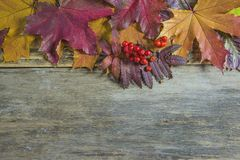 Beautiful frame of multicolored maple leaves and rowanberries on. Old wooden background stock photo