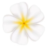 Beautiful frangipani Stock Photos
