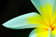 Beautiful Frangipani. Close up of a beautiful frangipani flower with dark background stock photo