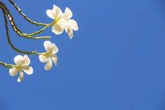 Beautiful Frangipani (Champa Flowers) Royalty Free Stock Image