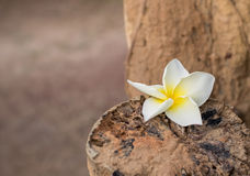 Beautiful frangipani is coupled with decay Royalty Free Stock Photo