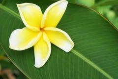 Beautiful frangipani flower royalty free stock photography