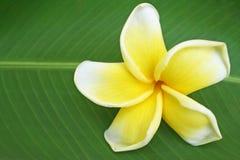 Beautiful frangipani flower stock photography