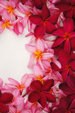 Beautiful Frangipani flower frame. On white royalty free stock photography