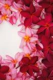 Beautiful Frangipani flower frame. On white Royalty Free Stock Photography