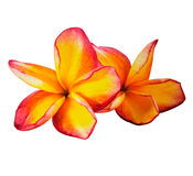 The beautiful frangipani flower isolated Stock Photography