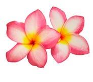 The beautiful frangipani flower isolated Stock Image