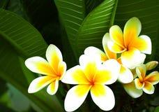 Beautiful frangipani flowers. Beautiful white and yellow frangipani flowers on green background Stock Photography