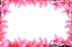 Beautiful Frangipani flowers Stock Photos