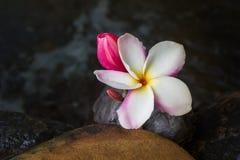 Beautiful frangipani flowers bunch on dark background Stock Photo