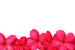 Beautiful Frangipani flowers Stock Photography