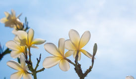 Frangipani flowers. Beautiful frangipani flowers and sky Stock Photos