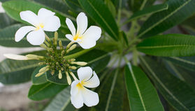 Beautiful frangipani flowers on tree Stock Images