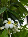 Beautiful Frangipani flowers on a tree with fresh green leaves stock photos