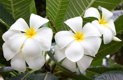 Beautiful frangipani flowers on tree. Royalty Free Stock Photo
