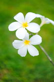 Beautiful  frangipani, flumeria flowers on the tree, with green blur background Royalty Free Stock Photography