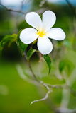 Beautiful  frangipani, flumeria flowers on the tree, with green blur background Royalty Free Stock Photos