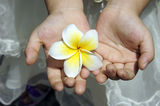 Beautiful frangipani. Hold in hands Royalty Free Stock Photo