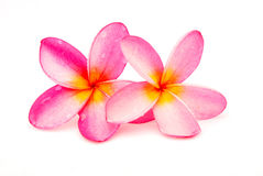 Beautiful Frangipani plumeria Royalty Free Stock Photos