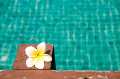 Beautiful frangipani on wood in the swimming pool Royalty Free Stock Image