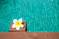 Beautiful frangipani on wood in the swimming pool Royalty Free Stock Photo