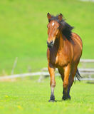 Beautiful free chestnut horse trotting at the field Stock Image
