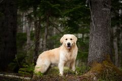 Beautiful and free dog breed golden retriever sitting outdoors in the green forest at sunset in spring. Portrait of beautiful and free dog breed golden retriever stock photo